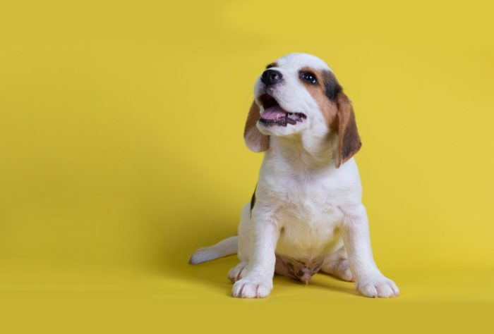 Beagles Puppies Yawned Saw The Tongue ,isolated On Yellow Backgr