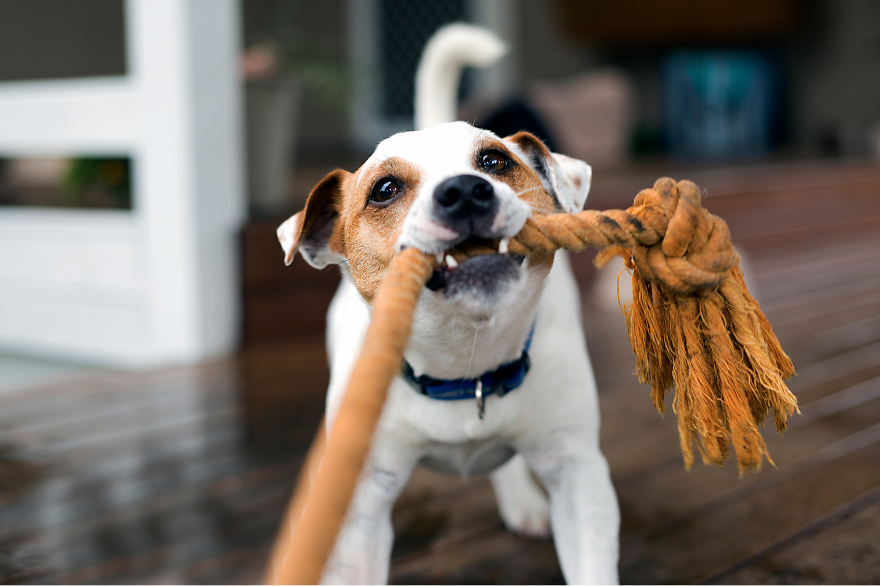 Why should you play tug with your dog?